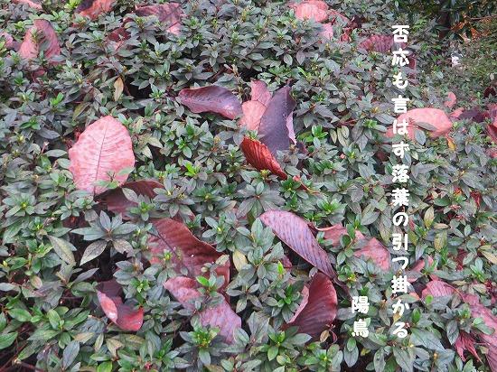 トチノキの落葉