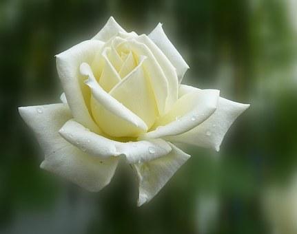 白いバラnew