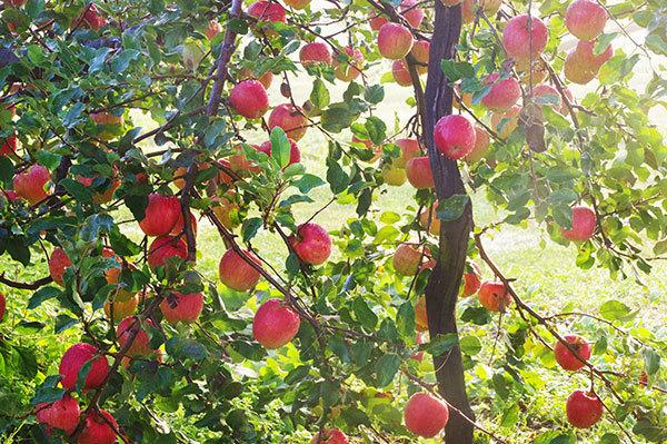 花巻市八重畑のりんご畑