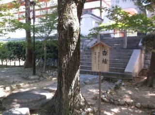 萬福寺・香椿