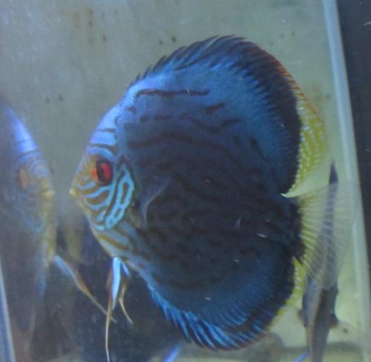 Pセルーリア稚魚自由遊泳