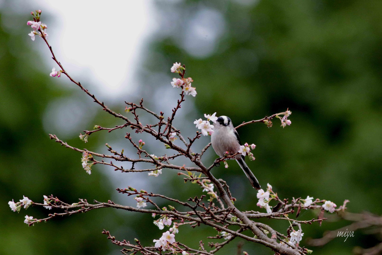 えなが10月桜m995A6708