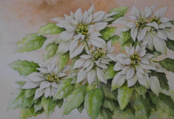 純白のポインセチア 1712