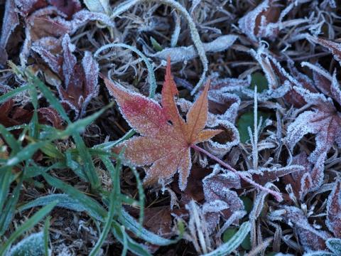 モミジ落葉霜171106