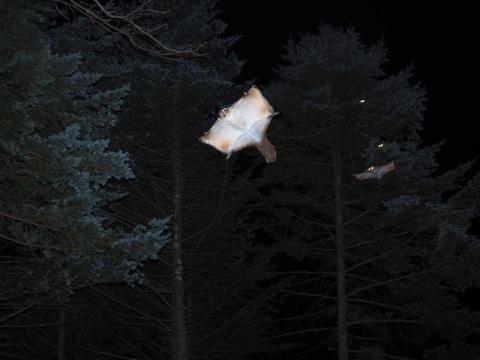 ムササビ滑空連続写真