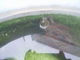 【写真】のんびりと餌を食べようとするクサガメのトラ