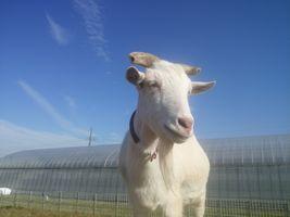 【写真】登り台の上から遠くを眺めるヤギのアラン