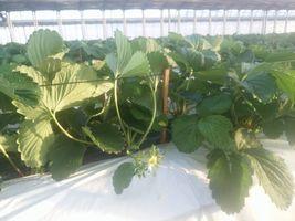 【写真】竹串で固定したワイヤー線で葉よせしたいちごの株の様子
