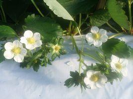 """【写真】次々と咲いた""""おいCベリー""""の花々"""