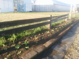 【写真】キンセンカとカスミソウを植えた受付ハウス前の花壇