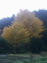 【写真】家の前の畑にある樹齢100年のイチョウの大木