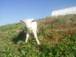 【写真】土手の途中で足を踏ん張って草を頬張る子ヤギのポール