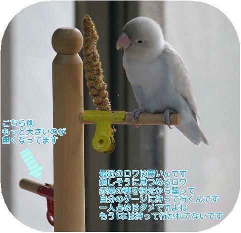 ①赤粟の穂