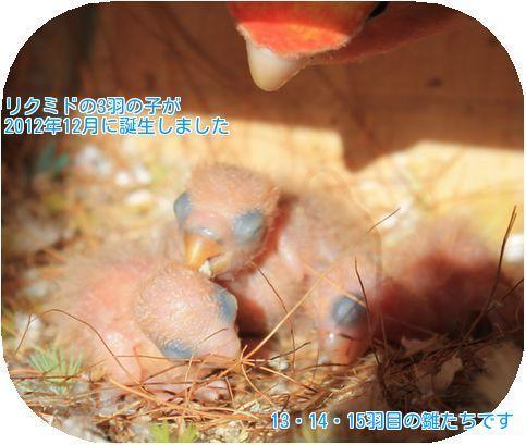 ①2012年12月の雛たち