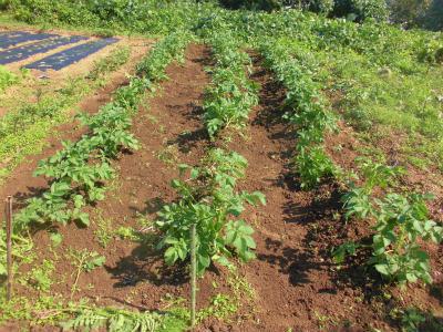 9.30ジャガイモの芽かき2