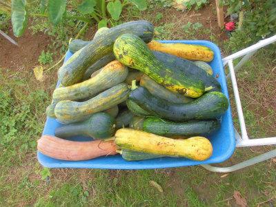 10.20瓢簞カボチャ収穫