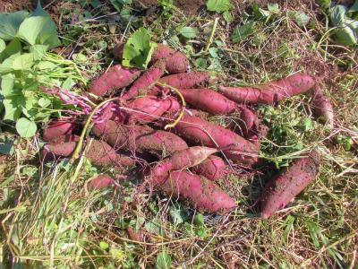 10.27サツマイモ収穫