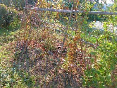 11.5山芋の葉が枯れた