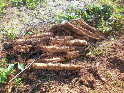 11.10収穫した山芋1