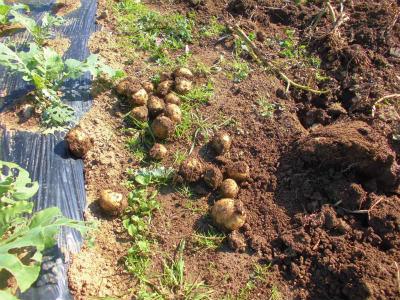 11.10ジャガイモ収穫