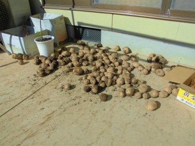 11.10収穫したジャガイモ