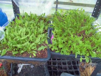 11.23サラダホウレン草とサラダ水菜