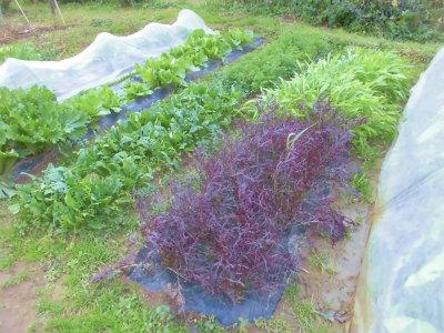 11.23露地野菜たち