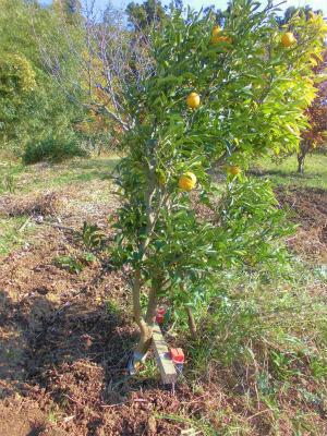 12.3柚子の木補強