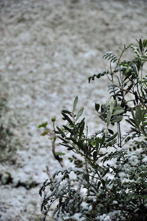 雪にオリーブ
