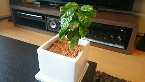 201711珈琲の木 (1)