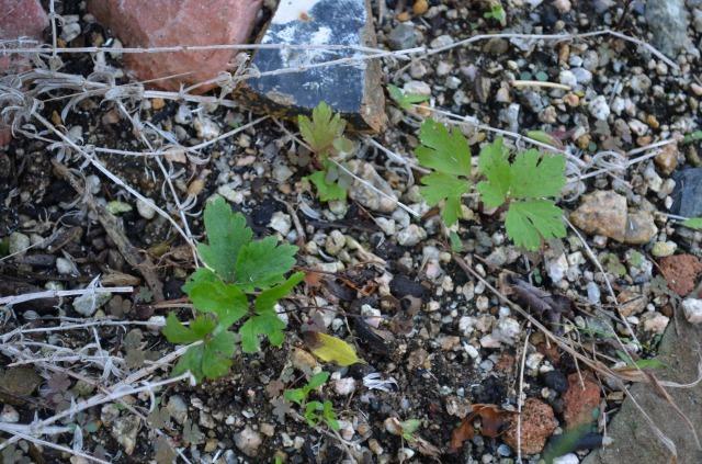 シルベストリス こぼれ種からの発芽