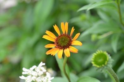 s_エキナセア ホットパパイヤ (開花過程1