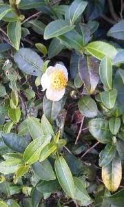 170930_お茶の花