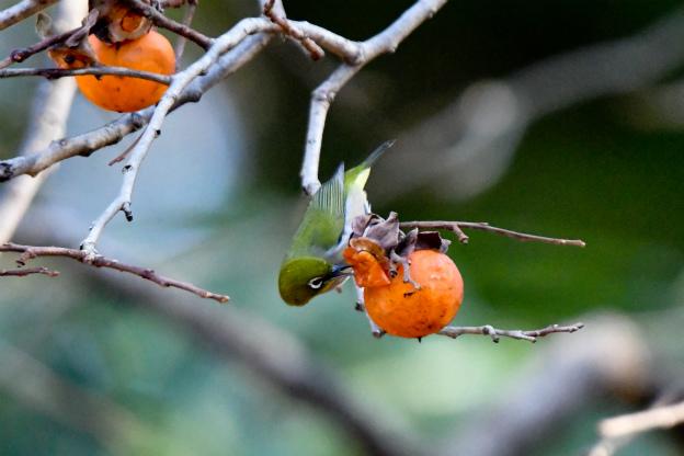 柿を啄ばむメジロ
