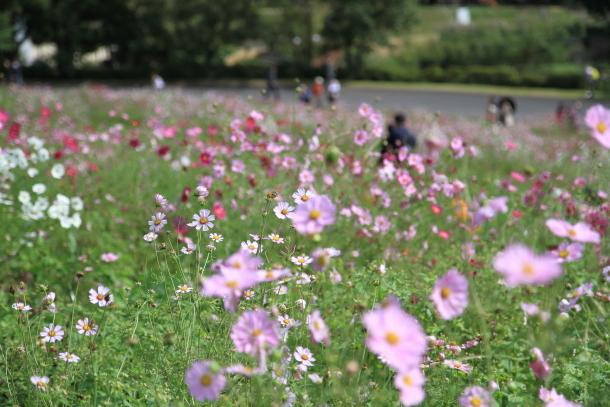 昭和記念公園 コスモス00028906