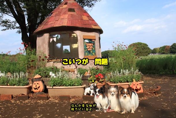 昭和記念公園 コスモス00028988