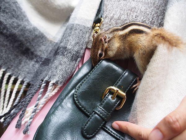 バッグに入ろうとするシマリス@加茂山リス園