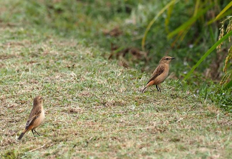 2羽のノビタキ