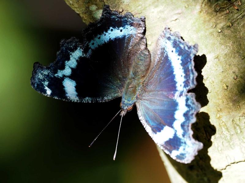 ルリイロ蝶