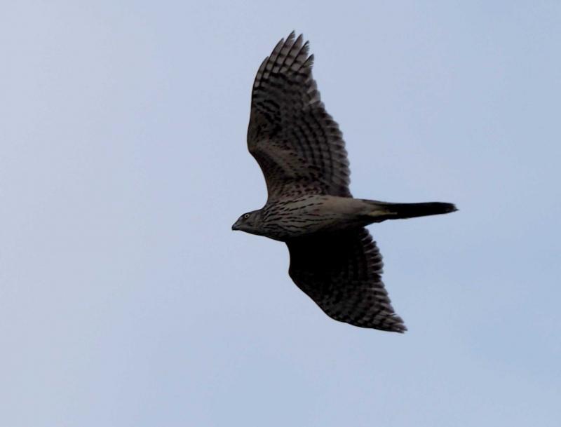 オオタカ幼鳥1119
