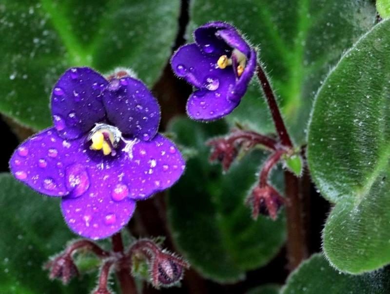 温室紫の花