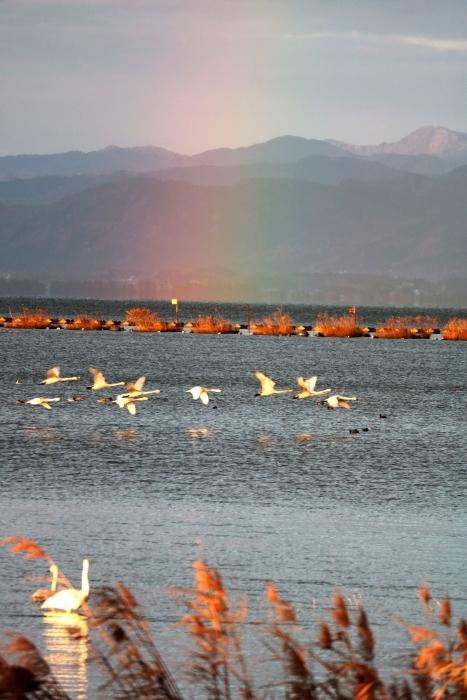 虹&飛ぶ白鳥