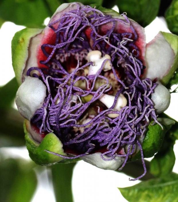 トケイ草紫