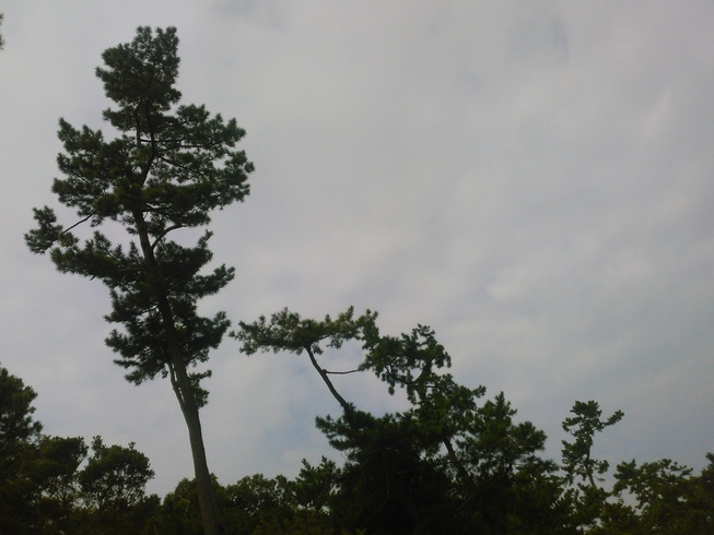 大きな見応えのある松の木-2