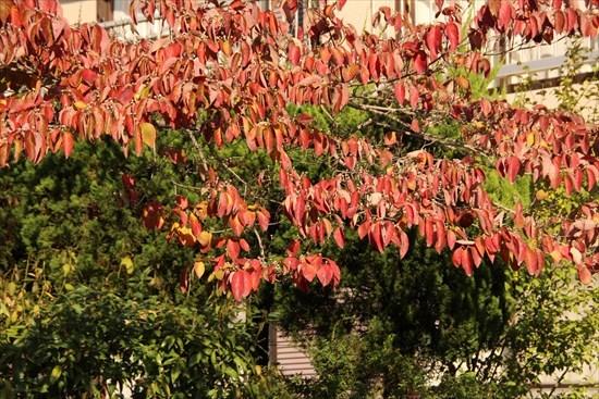 紅葉 桜1