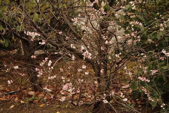 十月桜1 (2)