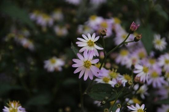 清澄山 白菊