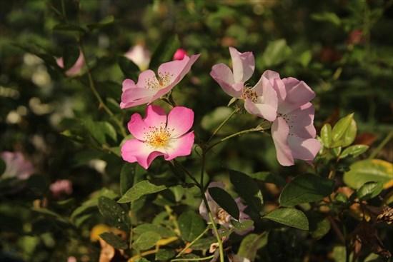 薔薇 タカラズカ1