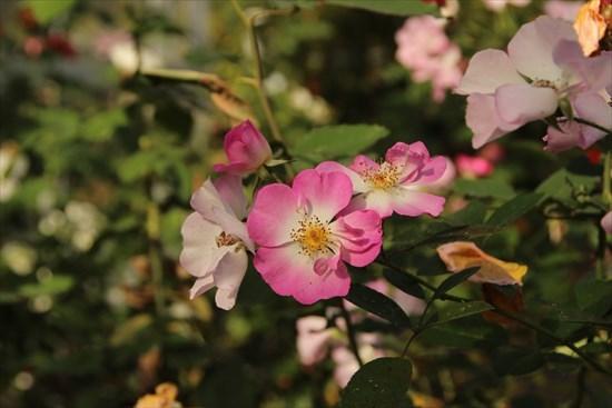 薔薇 タカラズカ