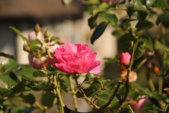 薔薇 シュラブ